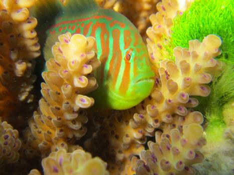 Tiny Neighbors Keep Coral Reefs Clean | Coral Reefs | Scoop.it