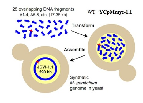 A Novel Approach for the Construction of Industrial Microorganisms   SynBioFromLeukipposInstitute   Scoop.it