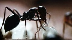 Les fourmis de Guyane s'exposent au Palais de la Découverte - Outre-mer outre-mer | CNRS Guyane | Scoop.it