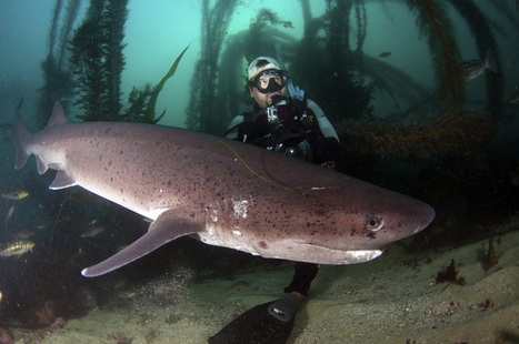 Dive Report: Diving with Sevengills and Shark Diver Magazine at La Jolla Cove   Scuba diving and skin diving California and beyond   Undersea Discoveries   Scoop.it