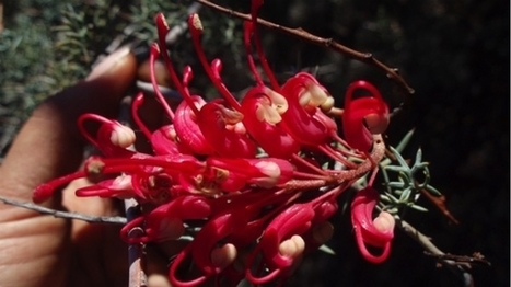 'Island' grevillea drifts through time | Australian Plants on the Web | Scoop.it