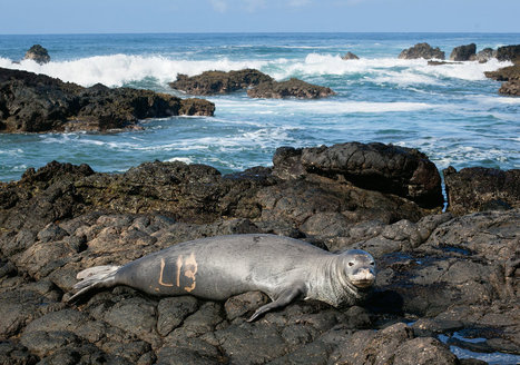 Who Would Kill a Monk Seal? | Sustain Our Earth | Scoop.it