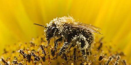 Hécatombes dans les ruches : des abeilles forcées à butiner trop jeunes | CAP21 | Scoop.it