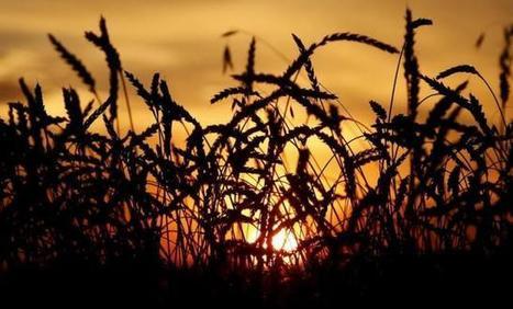 IGC raises 2016/17 world wheat crop forecast | WHEAT | Scoop.it