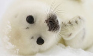 Canadian seal cull 'unnecessary due to climate change' | Conservation, Ecology, Environment and Green News | Scoop.it
