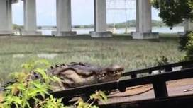 Whopper gator found Hilton Head so nice it visited twice + video | Untamed Lowcountry | The Island Packet | Civil War in South Carolina | Scoop.it
