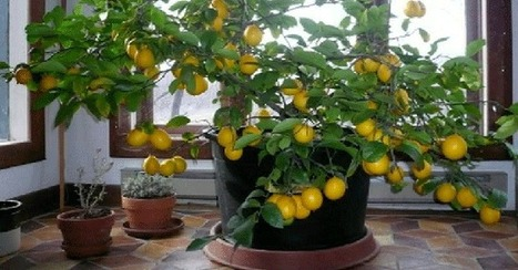 7 easy steps to grow your own indoor lemon tree from seed + Bonus Video - Natural Medicine Box | Nutrition Today | Scoop.it