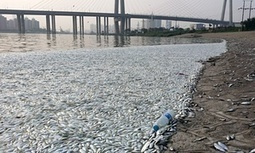Chinese authorities investigate mass fish death near Tianjin explosion site | Discover Sigalon Valley - Where the Tags are the Topics | Scoop.it