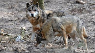 GUNNING DOWN  WOLVES : German farmers demand the right to hunt wolves | Biodiversity IS Life -- Conservation,Ecosystems,Wildlife,Rivers,Water,Forests | Scoop.it