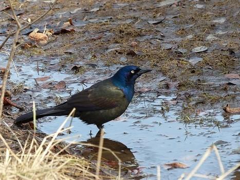 Quiscale bronzé - Quiscalus quiscula - Common grackle - Bronzed crow blackbird | Fauna Free Pics - Public Domain - Photos gratuites d'animaux | Scoop.it