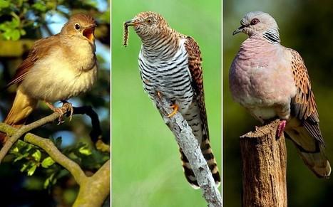 Migratory birds on brink of extinction in Britain - Telegraph | Endangered Wildlife | Scoop.it