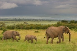 Save Elephants from Extinction! | Natural History, Environment, Science, and Technology | Scoop.it