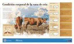 Infografía: Condición corporal de la vaca de cría — INTA | produccion animal | Scoop.it