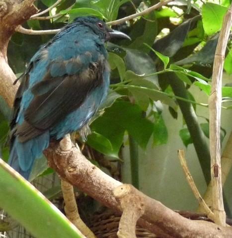 Photos d'oiseaux d'Asie: Irène vierge - Irena puella | Fauna Free Pics - Public Domain - Photos gratuites d'animaux | Scoop.it