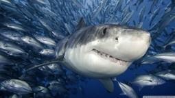 Great White Shark | shark | Scoop.it
