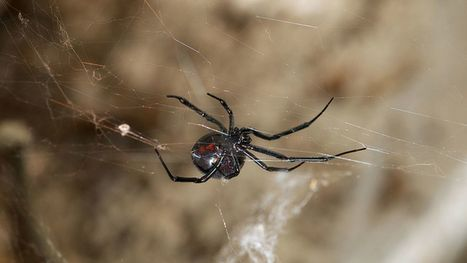 This virus steals DNA from black widow spider venom to attack its prey | Viruses and Bioinformatics from Virology.uvic.ca | Scoop.it
