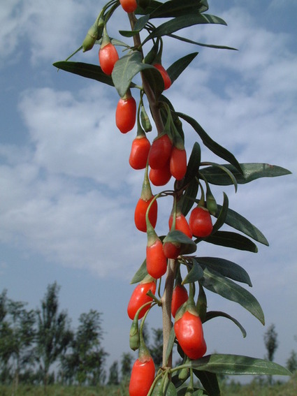 Super Food for the Edible Garden: Goji Berry (Lycium barbarum) | Anything Goes in the Garden | Scoop.it