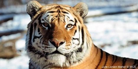 petition: Tell Congress: Don't Let Tigers Go Extinct | Plant Based Transitions | Scoop.it
