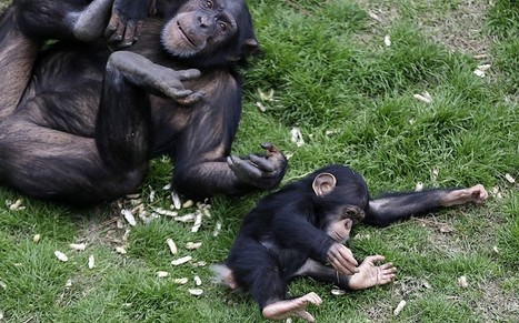 Plan to release medical research chimpanzees sparks American soul searching | Skylarkers | Scoop.it