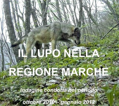 There are about 150 wild wolves in Le Marche | Le Marche another Italy | Scoop.it