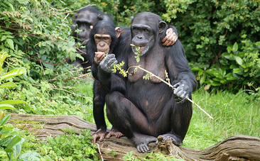 Why Chimpanzees Cooperate and We Should Too | Empathy in other animals | Scoop.it