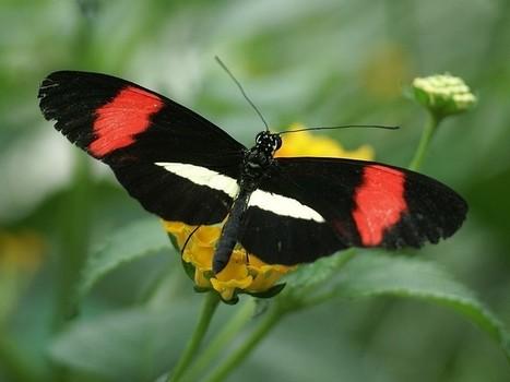 Photos de papillons exotiques : Heliconius erato - Red Postman - Papillons sudaméricains | Fauna Free Pics - Public Domain - Photos gratuites d'animaux | Scoop.it
