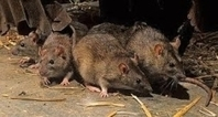 Would you rather be attacked by a pack of rats or a swarm of bees?   Share your Broadcast opinions online   Scoop.it