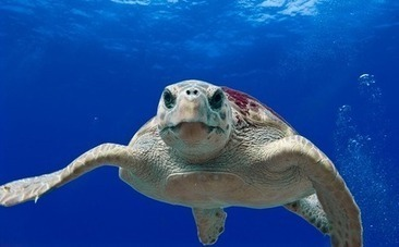Mystery Surfer Saves Drowning Sea Turtle, Then Catches His Next Wave | This Gives Me Hope | Scoop.it