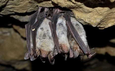 Bat Control Exterminating Bat Bugs | St. Louis Pest Control | Green Energy | Scoop.it