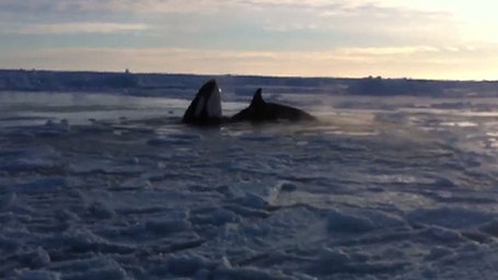 CANADA: Killer whales trapped as ice hole shrinks in northern Quebec | #Orca #Avenger Loki Mars | Scoop.it