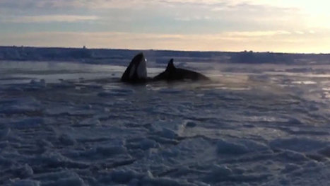 CANADA: Killer whales trapped as ice hole shrinks in northern Quebec | Honor the Orcas, Dive in! | Scoop.it