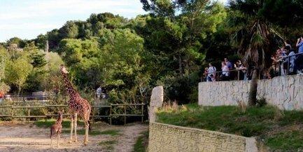 Sigean : la Réserve africaine aurait pu accueillir Marius, le girafon euthanasié | Nature Animals humankind | Scoop.it