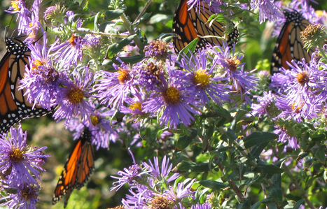 Pollinator Gardens do Double Duty | The Amateur Ecologist | Scoop.it