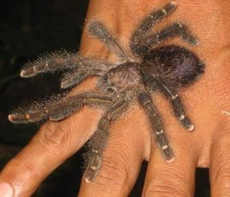 The Benefits of Tarantulas on the Ceilings and Frogs in the Showers   Rainforest EXPLORER:  News & Notes   Scoop.it