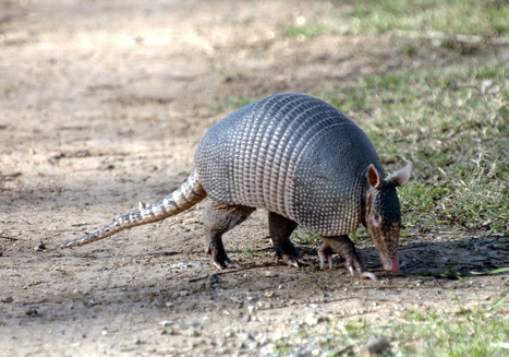 Armadillos are spreading leprosy in Florida | this curious life | Scoop.it