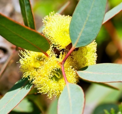 3 Great Ways to Use Eucalyptus Essential Oil | Health Tips | Scoop.it