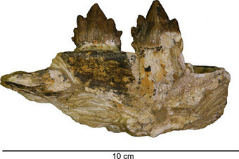 The Archaeology News Network: New whale species unearthed in California highway dig   Amateur and Citizen Science   Scoop.it