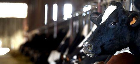 Bienvenue dans l'ère des vaches à lait transgéniques | Chronique d'un pays où il ne se passe rien... ou presque ! | Scoop.it