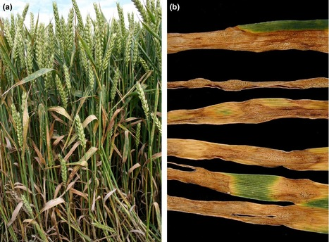 Nicotiana benthamiana as a nonhost of Zymoseptoria tritici | Cereal and Biotrophic Pathogens | Scoop.it