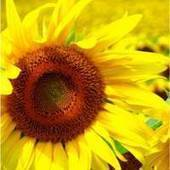 Sunflower Oil - Skin And Hair Benefits - Organic Oils For Hair And Skin | Organic Oils | Scoop.it