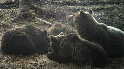 Lack of snow keeping bears awake | Finland | Scoop.it