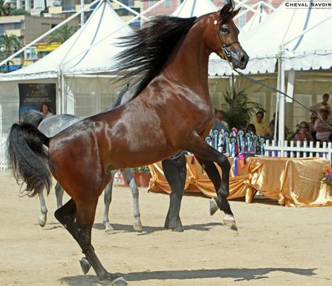 Pur sang arabe : la Galerie des Champions | Arabian Horses | Scoop.it