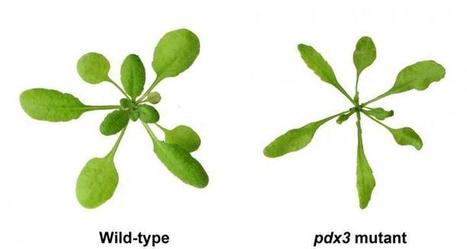 A new role for vitamin B6 in plants | Fragments of Science | Scoop.it