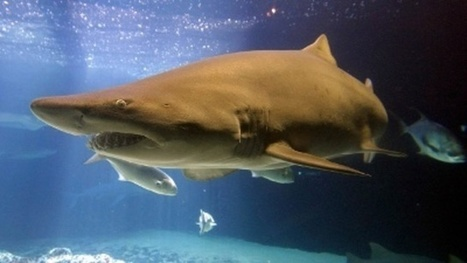 Sharks attacks down, but peaked in 2015 | ScubaObsessed | Scoop.it