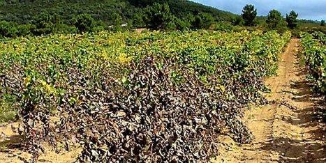 Cinq hectares de vignes détruites par un produit chimique introduit discrètement   Toxique, soyons vigilant !   Scoop.it