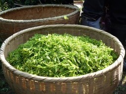 Le thé japonais est-il encore produit au Japon ? | patrick FLORENCE | Scoop.it