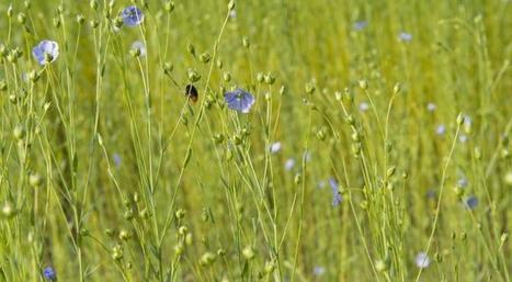 Le lin: un savoir-faire français, des atouts économiques et environnementaux   Alim'agri   Eco-conception   Scoop.it