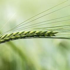 Variétés de blés sélectionnées par la meunerie pour 2014 | Lesnouvellesdelaboulangerie.fr | Actu Boulangerie Patisserie Restauration Traiteur | Scoop.it