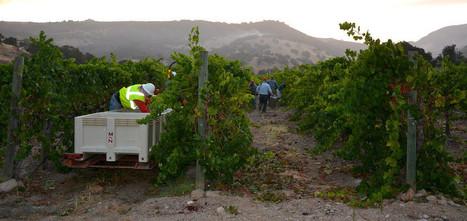 #Napa Valley begins one of the earliest harvests in recent memory | Vitabella Wine Daily Gossip | Scoop.it
