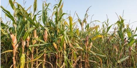 Les agriculteurs espagnols abandonnent en masse le maïs génétiquement modifié de Monsanto | Les colocs du jardin | Scoop.it